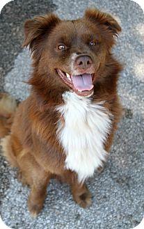 Nova Scotia Duck-Tolling Retriever Mix Dog for adoption in Muskegon, Michigan - Mack