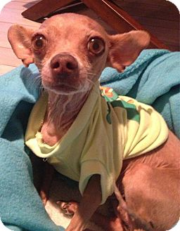 Mexican Hairless/Chihuahua Mix Dog for adoption in Lake Elsinore, California - Mrs. Bigglesworth or Ms. B