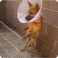 Adopt A Pet :: Spencer - Inglewood, CA