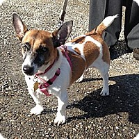 Adopt A Pet :: Star - Rhinebeck, NY