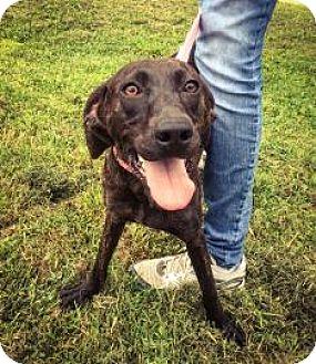 Plott Hound Mix Dog for adoption in Harrisonburg, Virginia - Isabelle
