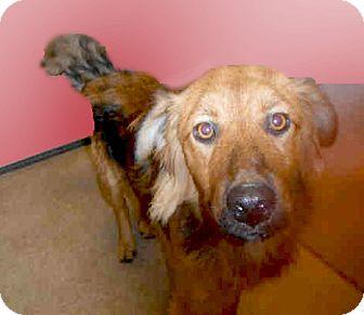Australian Shepherd/Golden Retriever Mix Dog for adoption in Sacramento, California - Goldie URGENT