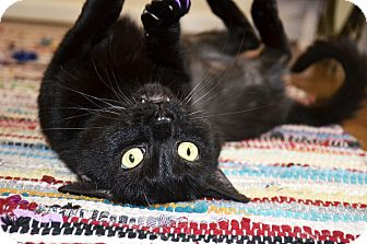 Domestic Shorthair Cat for adoption in Xenia, Ohio - Ebony