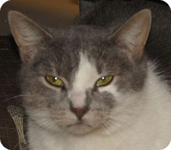 Domestic Shorthair Cat for adoption in Walden, New York - Sandy