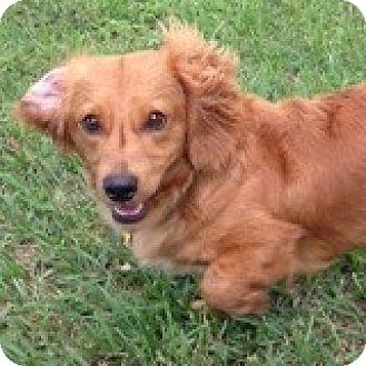 Dachshund Dog for adoption in Houston, Texas - Rocco Rockabilly