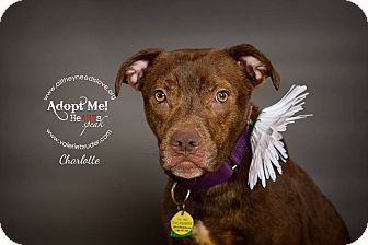 Pit Bull Terrier Mix Dog for adoption in Medford, New Jersey - Charlotte