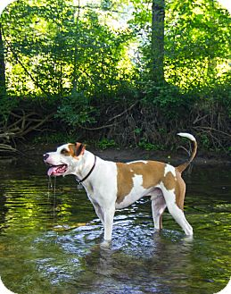 Pointer/American Bulldog Mix Dog for adoption in Chesterfield, Michigan - Jax-3 years old  2015 (m/c)