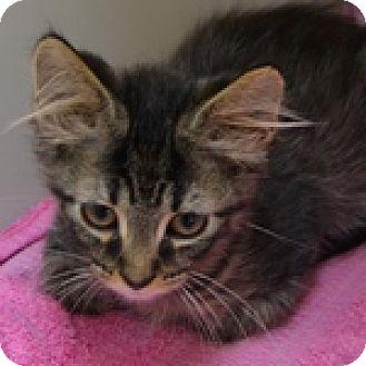 Domestic Mediumhair Kitten for adoption in Wheaton, Illinois - Henry