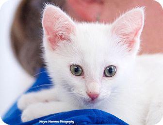 Domestic Shorthair Kitten for adoption in Marietta, Georgia - Cleo Kitty