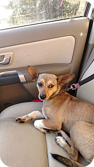 Chihuahua/Jack Russell Terrier Mix Dog for adoption in Charlotte, North Carolina - Lucky