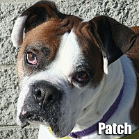 Adopt A Pet :: Patch - Encino, CA