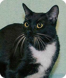 Domestic Shorthair Cat for adoption in Elmwood Park, New Jersey - Dakota