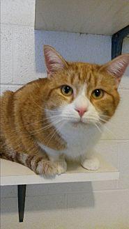Domestic Mediumhair Cat for adoption in Bryson City, North Carolina - Shorty