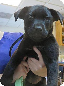 Labrador Retriever Mix Puppy for adoption in Seneca, South Carolina - Reagan - $250