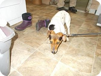 Jack Russell Terrier/Dachshund Mix Dog for adoption in Lewisburg, Tennessee - Vela
