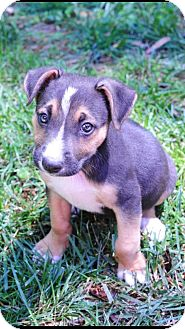 Labrador Retriever/Boxer Mix Puppy for adoption in Nashville, Tennessee - Lilah