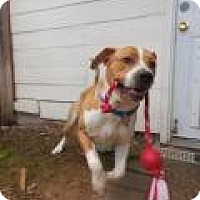 Adopt A Pet :: Rollicking Ralphie - Issaquah, WA