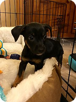 Dachshund/Chihuahua Mix Puppy for adoption in Woodstock, Georgia - Theodore