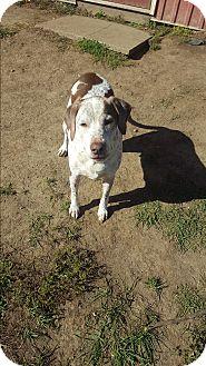 Pointer Mix Dog for adoption in Indianola, Iowa - Ernie