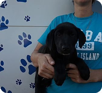 Labrador Retriever/Golden Retriever Mix Puppy for adoption in Oviedo, Florida - Maui