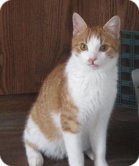 Domestic Shorthair Cat for adoption in Mebane, North Carolina - Beaker