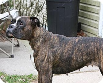 Boxer Dog for adoption in Winfield, Pennsylvania - Lily  Grace