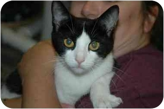 Domestic Shorthair Cat for adoption in Warwick, Rhode Island - Charm: I LOVE Other Kitties!