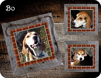 Treeing Walker Coonhound/Coonhound Mix Dog for adoption in Ontario, Ontario - Bo -ADOPTED!