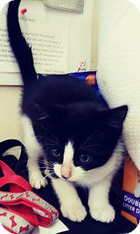 Domestic Shorthair Kitten for adoption in Trevose, Pennsylvania - Delphi