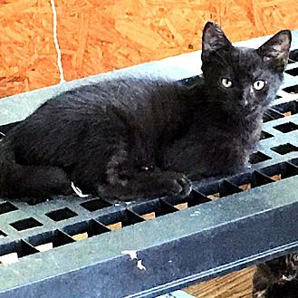 Domestic Shorthair Kitten for adoption in Williston Park, New York - Sylvia