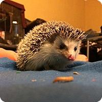 Adopt A Pet :: Simon - St. Paul, MN