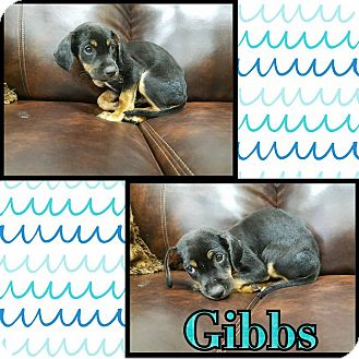 Black and Tan Coonhound Mix Puppy for adoption in Newcastle, Oklahoma - Gibbs