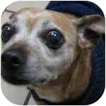Chihuahua Mix Dog for adoption in Eatontown, New Jersey - Chi