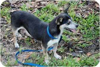 Chihuahua Mix Dog for adoption in Putnam Hall, Florida - Missie