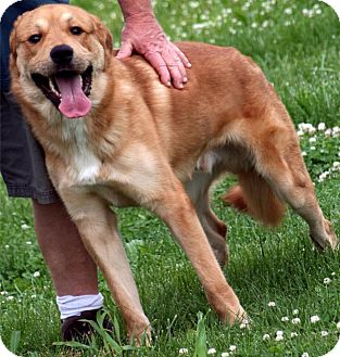 Great Pyrenees/Rottweiler Mix Dog for adoption in Jersey City, New Jersey - Marley