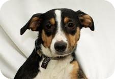 Rat Terrier/Collie Mix Puppy for adoption in Plainfield, Illinois - Sierra