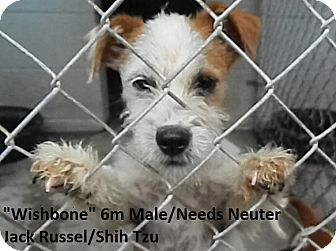 Jack Russell Terrier Mix Dog for adoption in Dublin, Georgia - Wishbone