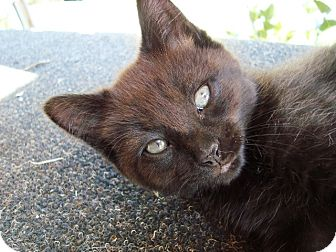 Domestic Shorthair Kitten for adoption in Radford, Virginia - Einstein