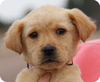 Golden Retriever/Labrador Retriever Mix Puppy for adoption in Minnetonka, Minnesota - Missy