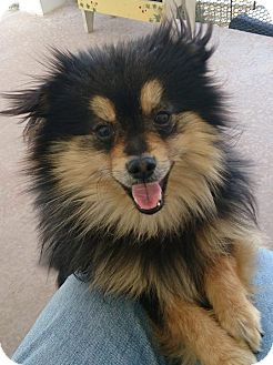 Pomeranian Dog for adoption in Norman, Oklahoma - Tiber