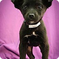 Adopt A Pet :: Luge - Broomfield, CO