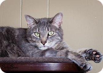 Domestic Shorthair Cat for adoption in Sauk Rapids, Minnesota - Marlin
