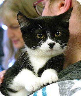 Domestic Shorthair Kitten for adoption in Pittstown, New Jersey - Edgar