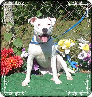 American Pit Bull Terrier Mix Dog for adoption in Marietta, Georgia - STARR- See Video!