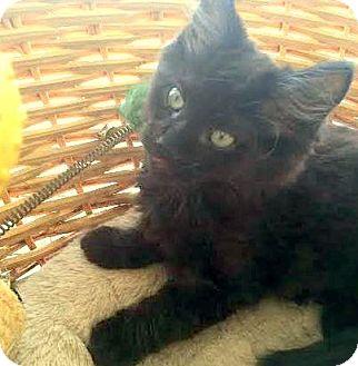 Domestic Mediumhair Kitten for adoption in Huntsville, Alabama - Salsa