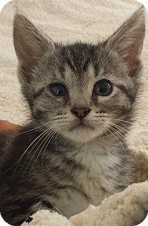 Domestic Shorthair Kitten for adoption in Concord, Ohio - Grey Tabby Tiger 7 wks old