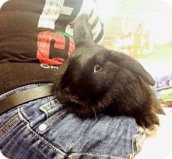 Lop, Holland Mix for adoption in Williston, Florida - Licorice