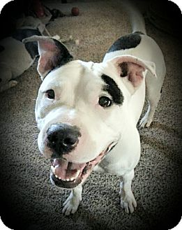 American Staffordshire Terrier Mix Dog for adoption in Kewanee, Illinois - Lulu