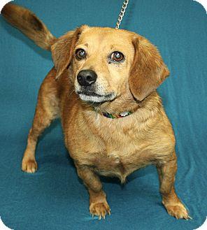 Dachshund Mix Dog for adoption in Jackson, Michigan - Charlie