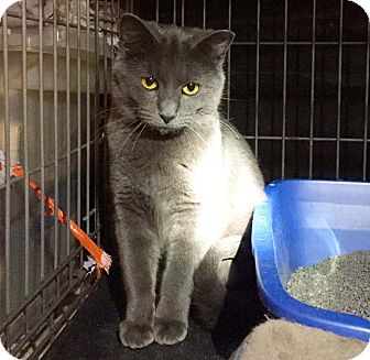 Russian Blue Kitten for adoption in Lombard, Illinois - Andy